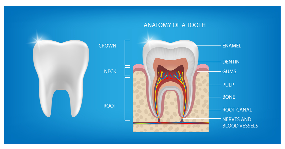 Tooth Anatomy, What Are The Basic Parts Of A Tooth